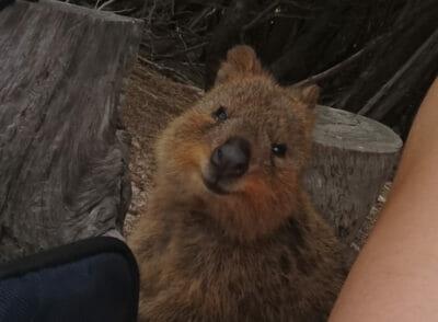 AUSTRALIEN: Lieblingsplätze: Quokkas!!! Und Rottnest Island