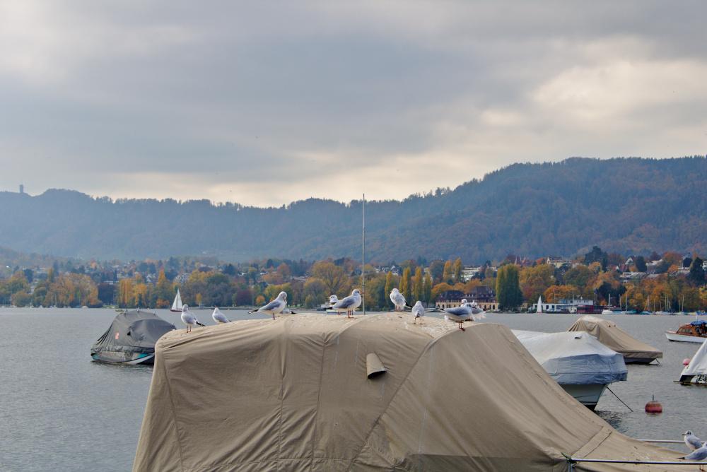 Zürich See: Die Möwen sind ein ständiger Begleiter entlang des Sees.