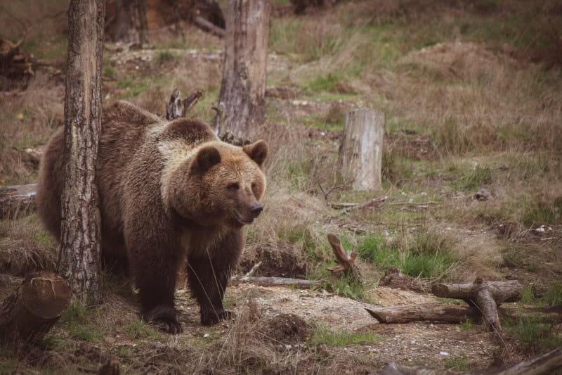 So wirst du in Kanada von Bären gejagt, angegriffen & gefressen