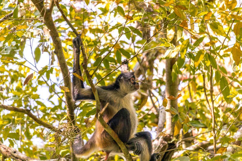 El Mirador Guatemala   Spidermonkeys sahen wir fast jeden Tag