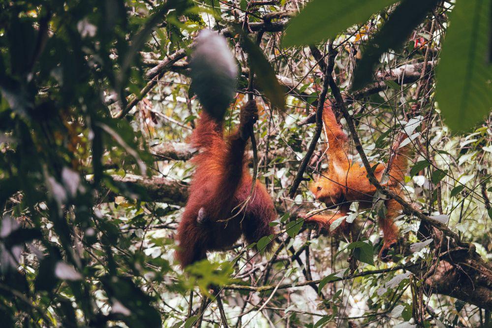 Indonesien Insel Sumatra Orang Utans im Gunung Leuser Nationalpark bei Bukit Lawang