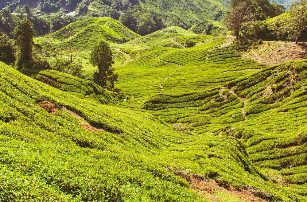 Malaysia Cameron Highlands Teeplantagen