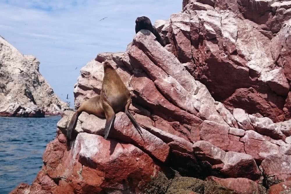 Peru Islas Ballestas und Paracas Seehund am schlafen