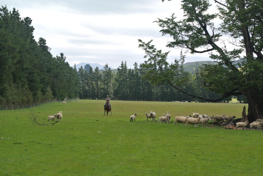 Unterwegs trafen wir auf ganz schön viele Schafe