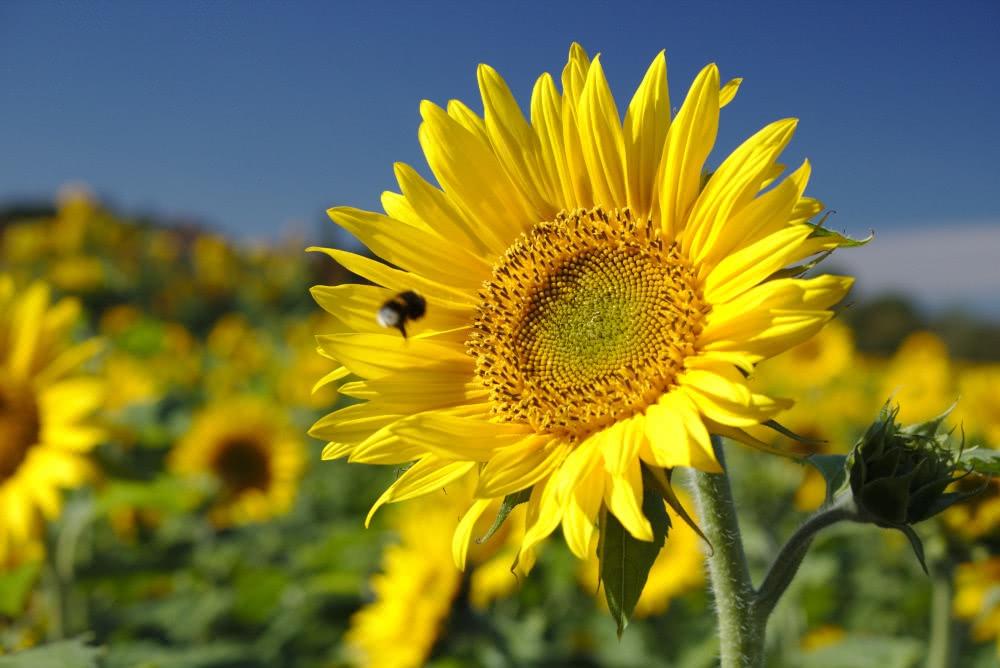 Sonnenblumenfeld am Wegesrand am Baldeneysteig