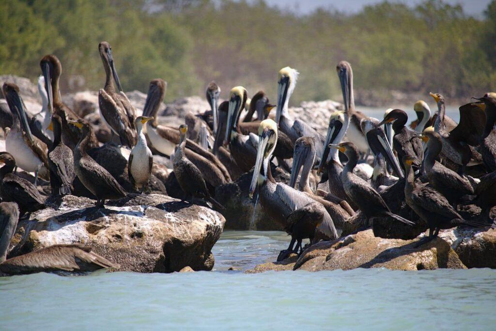Celestun Mexiko … wie Pelikanen