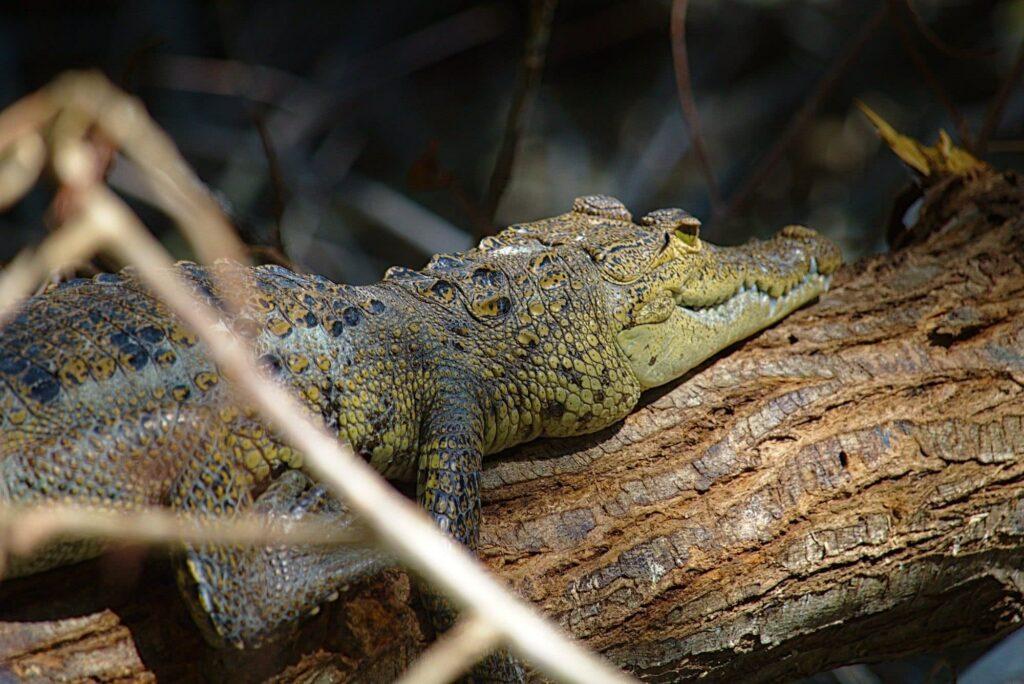 Celestun auf eigeen Faust Krokodil