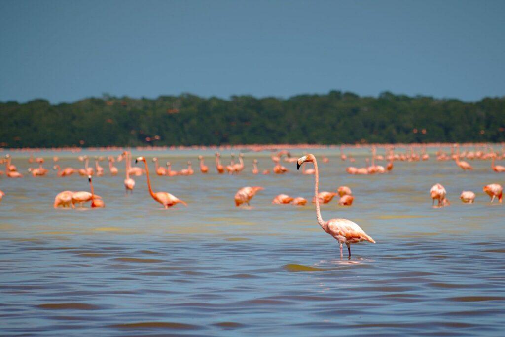Celestun Eine riesige Flamingo-Kolonie
