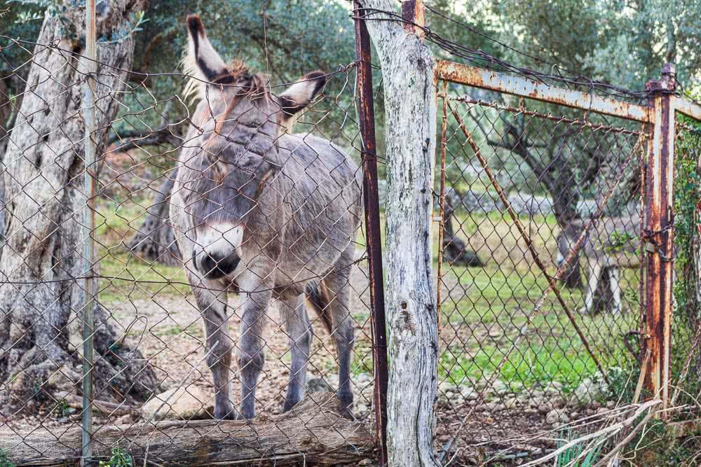 Europas schönste Reisefotos Einer von sehr vielen Eseln auf Mallorca