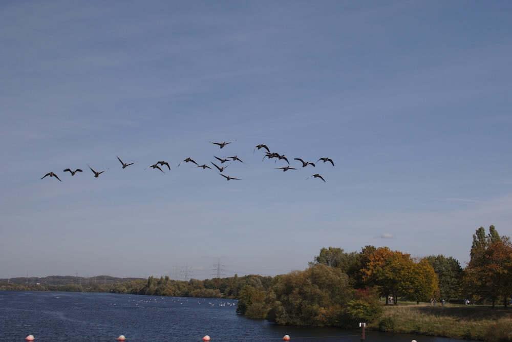 Gänse im Formationsflug über dem Kemnader See.