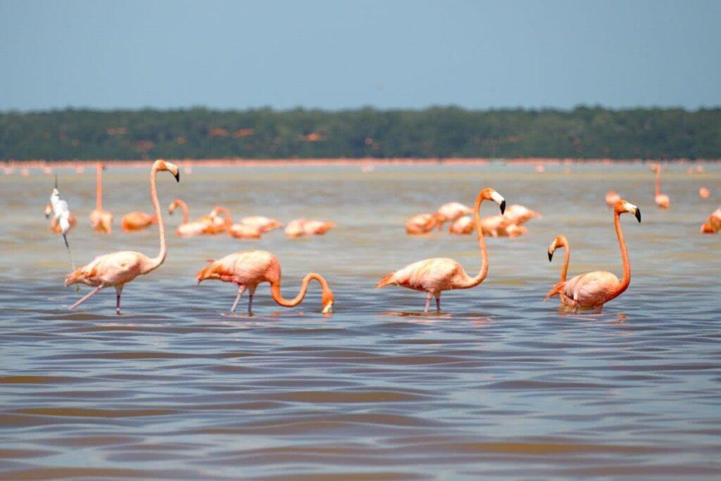 Unzählige Flamingos konnten wir auf unserer Bootstour in Celestún beobachten.