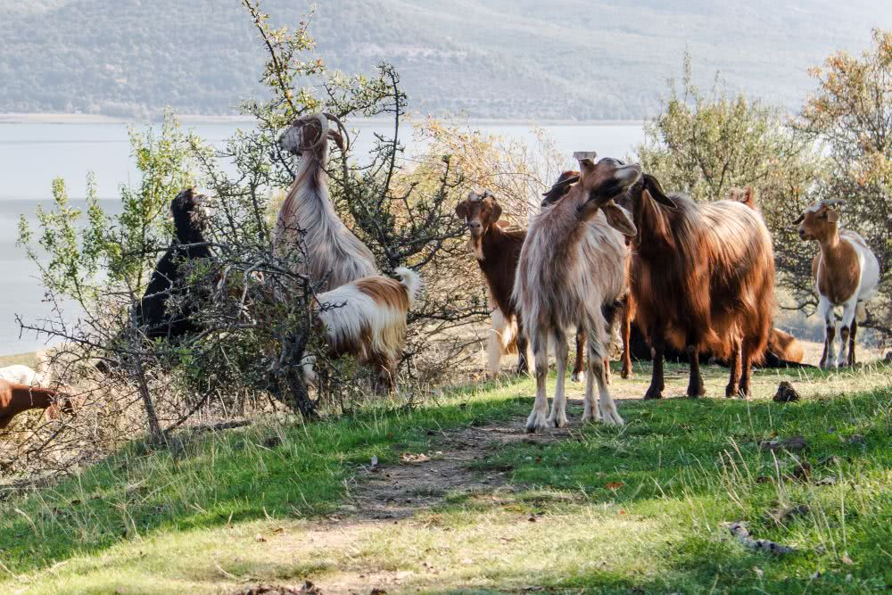 Herden aus Ziegen oder Schafen findet man in Griechenland häufiger
