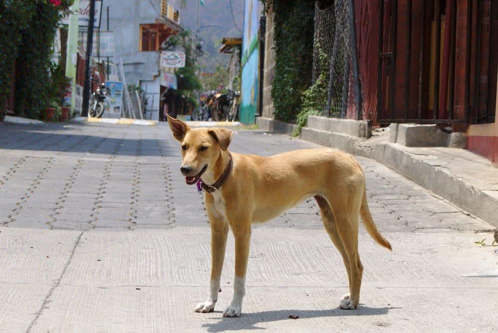 Immer wieder laufen einem in San Pedro La Laguna Hunde über den Weg…