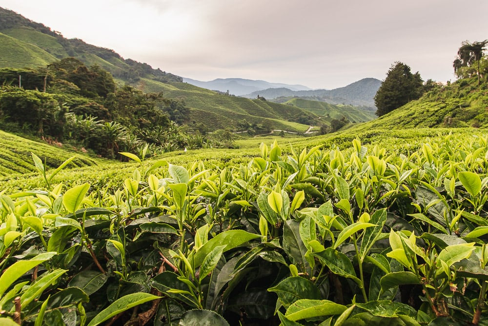 Teeplantage in den Cameron Highlands