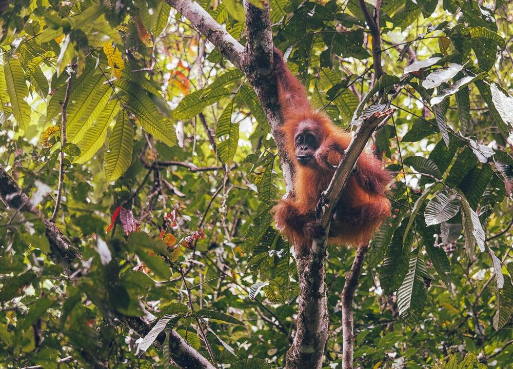 Auge in Auge mit einem Orang-Utan auf Sumatra