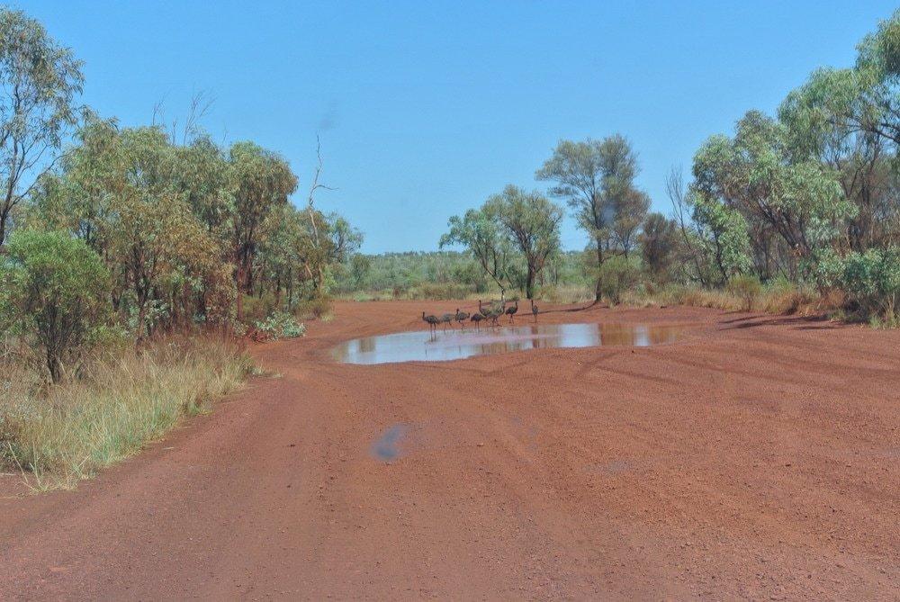 In der Ferne laufen Emus über den sandigen Weg