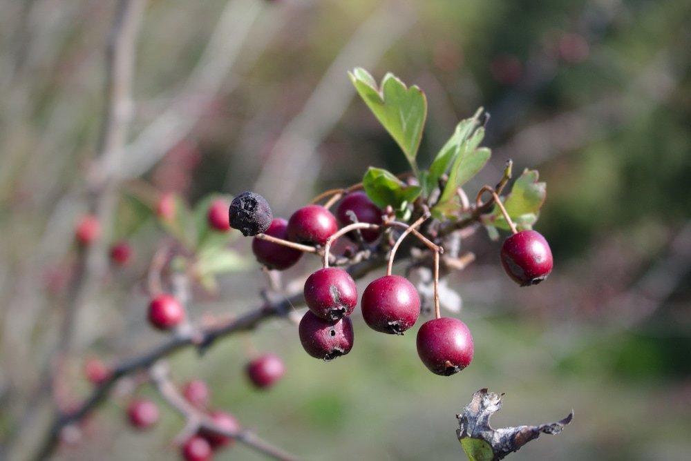 Beeren entlang des Wanderpfades