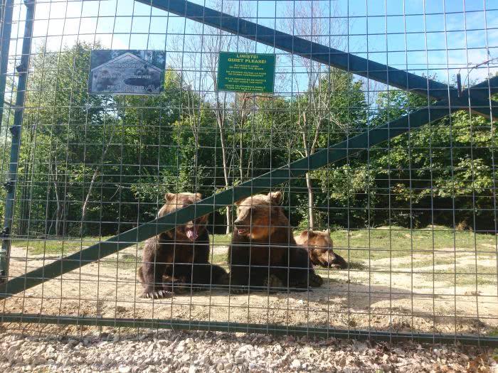 Bären im Santuary Zarnesti in Rumänien