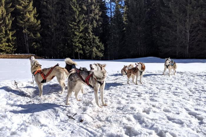 Die Huskys freuten sich über das baldige Wandern