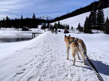 Schneeschuhwandern mit Huskys in der Steiermark in Österreich