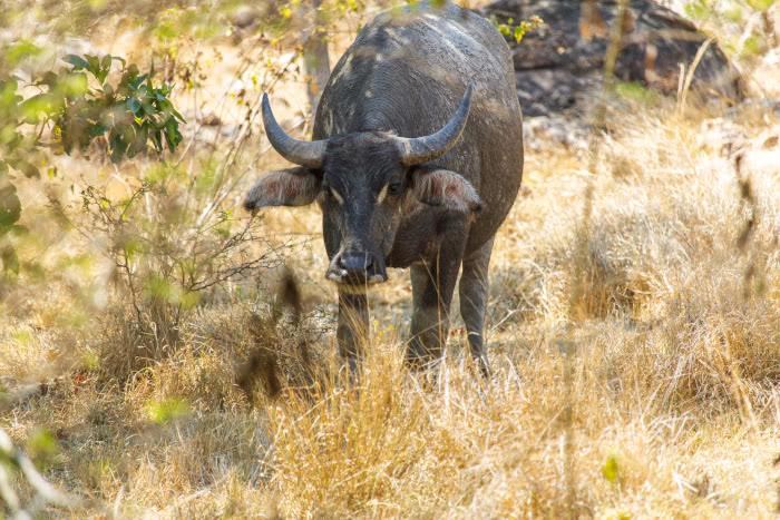 Ein versteckter Wasserbüffel auf der Insel Rinca