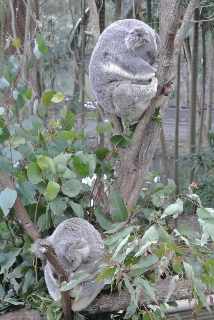 Gerettete Koalas am Bam
