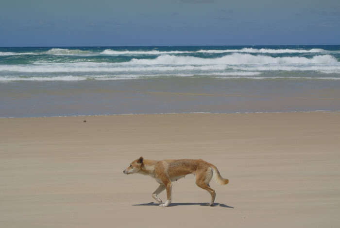 Wilde Dingos auf Fraser Island in Queensland