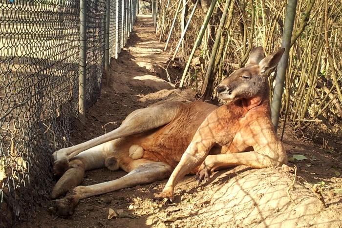 Ein massiger Känguru Bock im Lone Pine Sanctuary