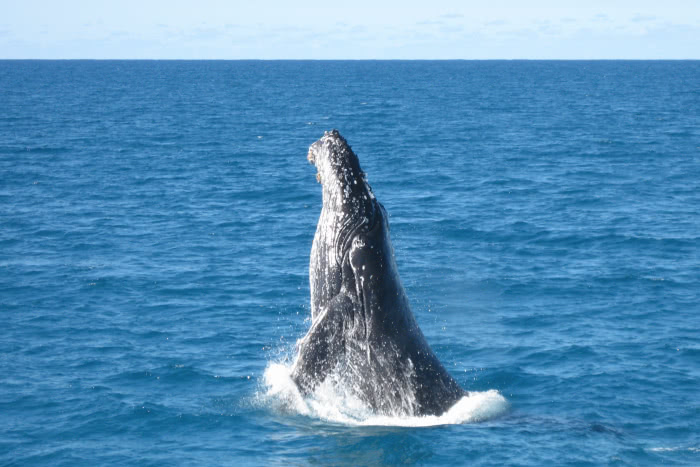 Whale Watching bei Moreton Island