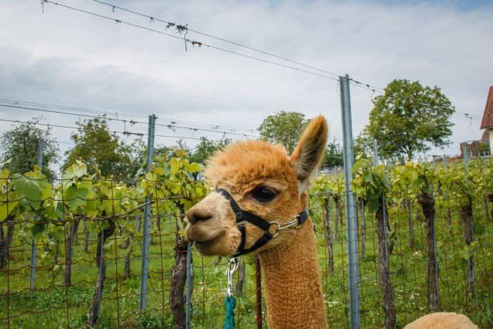 Im Hintergrund die Weinlandschaft