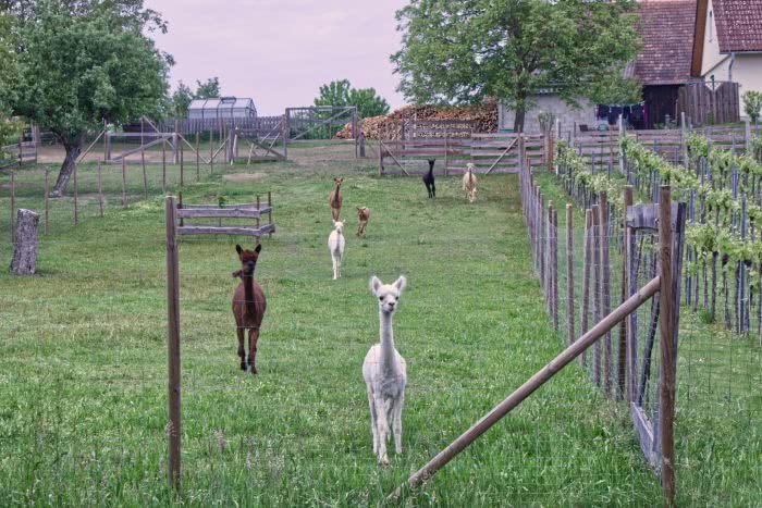 Plötzlich rennen die Alpakas auf uns zu