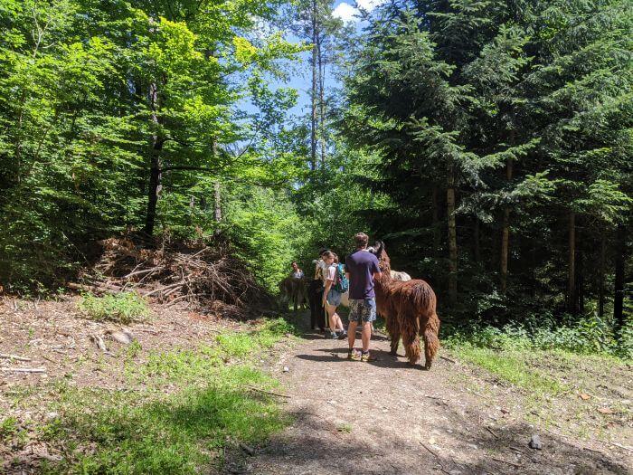 Die Alpaka-Kolonne führt durch den Wald