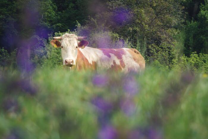 Und vorbei gehts an einer Weide mit neugierigen Kühen