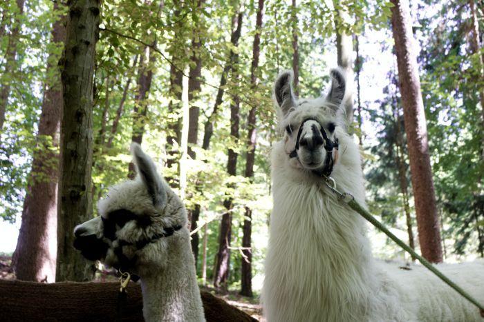 Erkennst du den Unterschied zwischen Alpakas und Lamas?