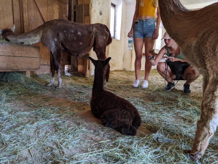 Das Alpaka-Baby war gerade mal zwei Tage alt