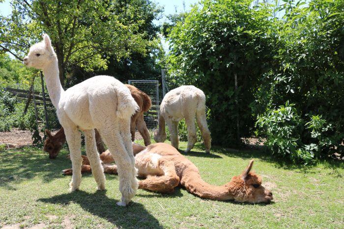 Manche Alpakas bleiben in Erinnerung: Die chillige Gwenda auf dem Gras