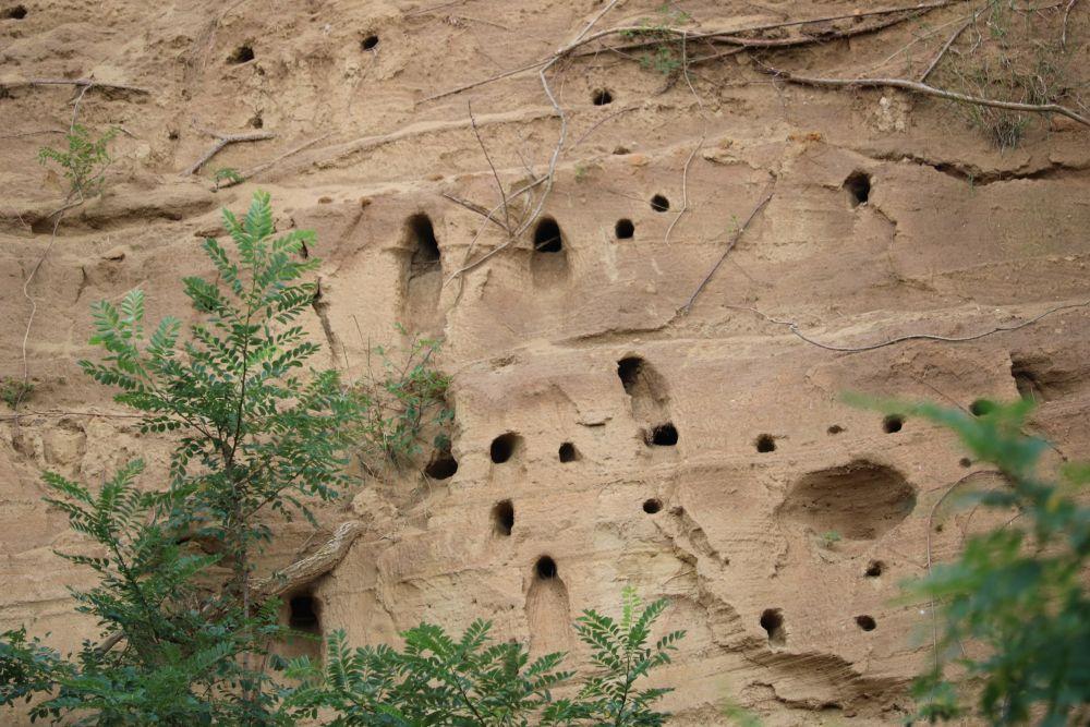 Nistplätze der Vogelart Bienenfresser