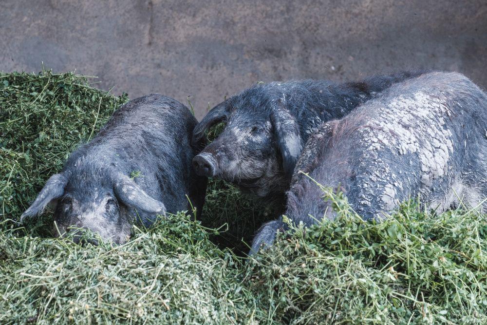 Auf der Radstrecke zwischen Podersdorf und Illmitz leben die Mangalizaschweine