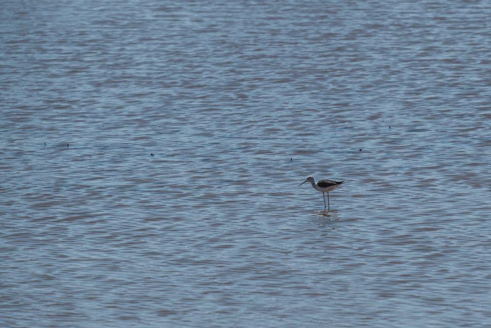 Ein Stelzenläufer im seichten Wasser