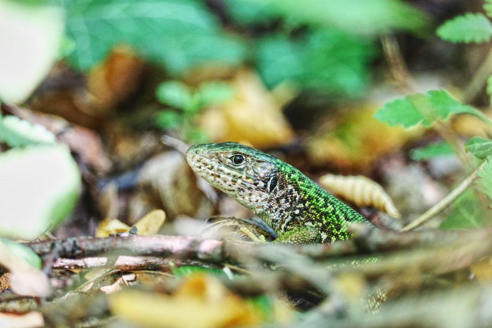 Die Smaragdeidechse findet man beim Wandern in der Wachau häufiger