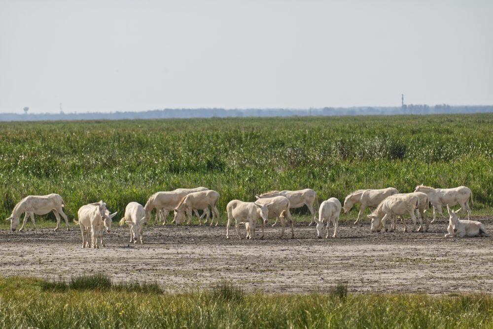 Die seltenen Weißen Esel grasen im Nationalpark Gelände