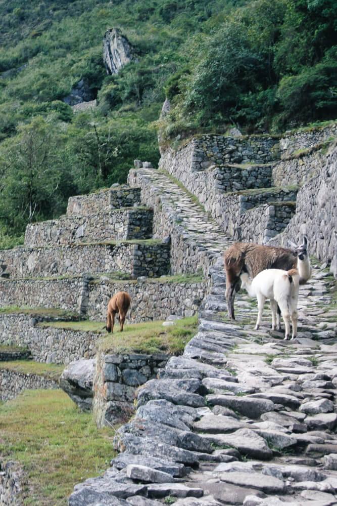 Ein tierisches Highlight am Machu Picchu