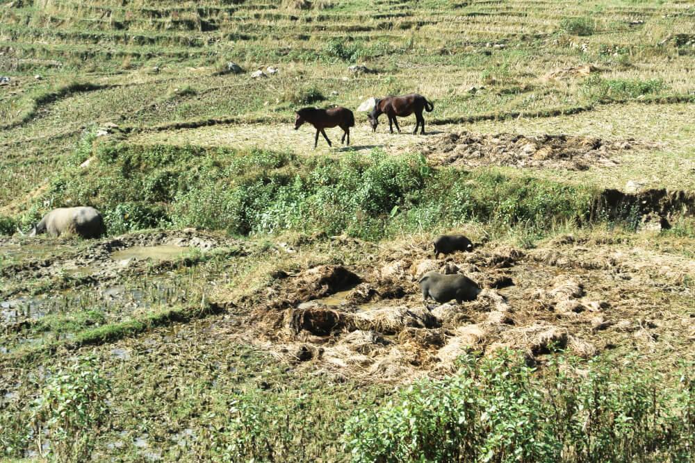 Viele Tiere sieht man beim Trekking: u.a. Wasserbüffel, Schweine und Pferde