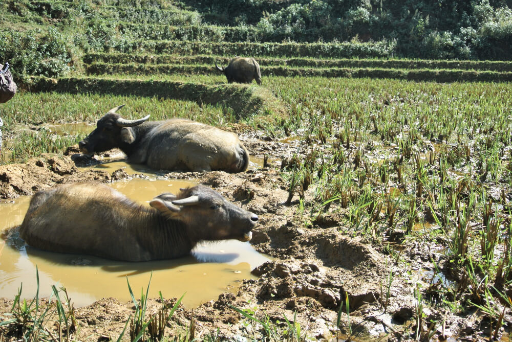 Ob Vietnam oder Myanmar überall gibt es in SOA Wasserbüffel
