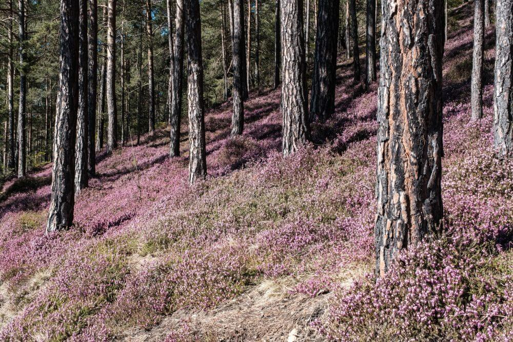 Ein Teppich voller Erikablüten am Matzlerberg