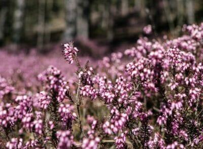 Wanderung in Hinterlobming ✿ Faszination Erikablüte am Matzlerberg