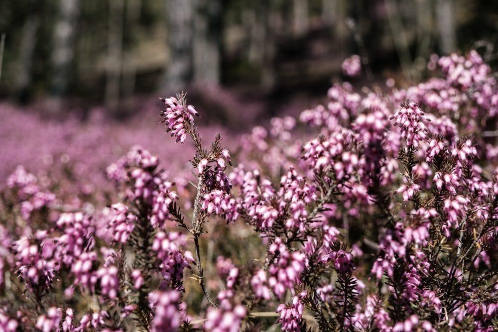 Welche Farbe haben die Blüten? Lila, rosa oder pink?