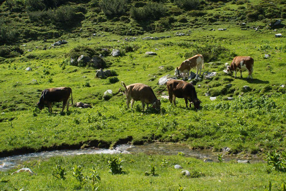Am Weitwanderweg gibt es immer mal wieder Kühe auf dem Weg